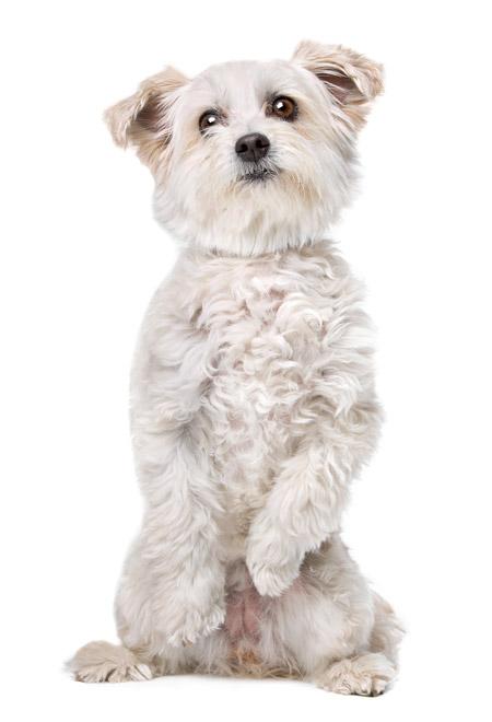 hvid-hund-sidder-op