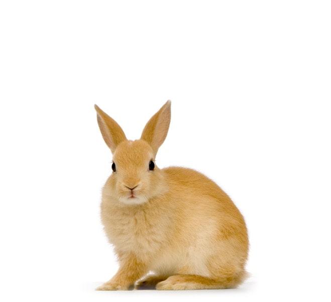 siddende-kanin